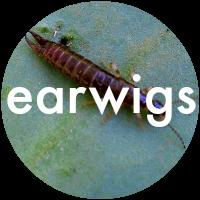 Learn about earwigs