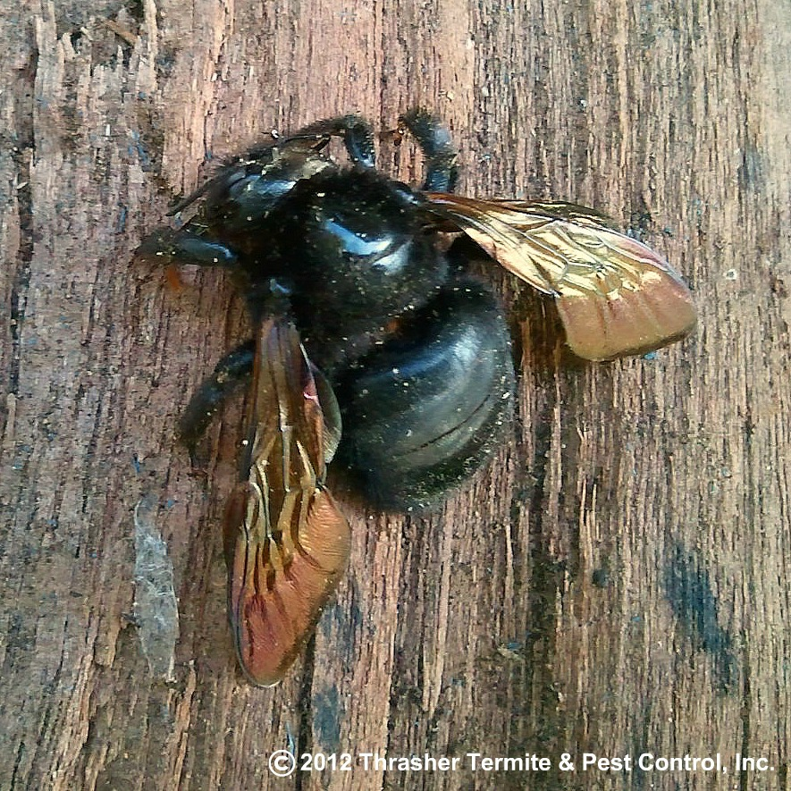 Carpenter-Bee-on-Wood-Pile-Thrasher-Pest-Control