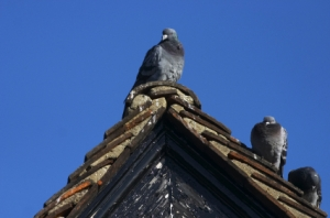 Thrasher Pest Control Pigeon Control