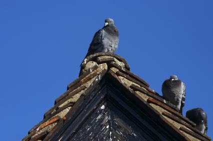 Thrasher Termite & Pest Control Bird Control