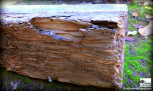 Subterranean termite damage to a wood 2 x 4