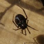False Black Widow Thrasher Termite and Pest Control