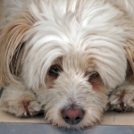 borax sick dog