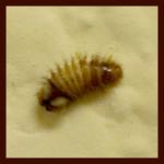 carpet beetle larva Thrasher Termite & Pest Control