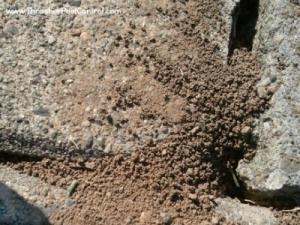 Western Sidewalk Ants Disturbed Soil