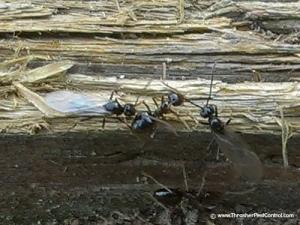 Winged Western Ants