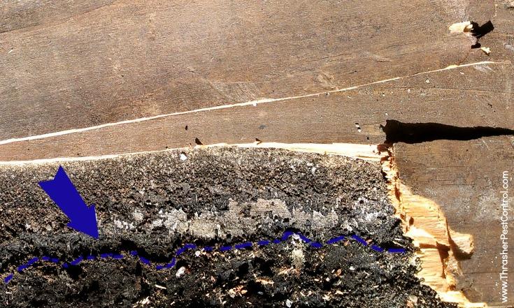 Subterranean Termite Damage