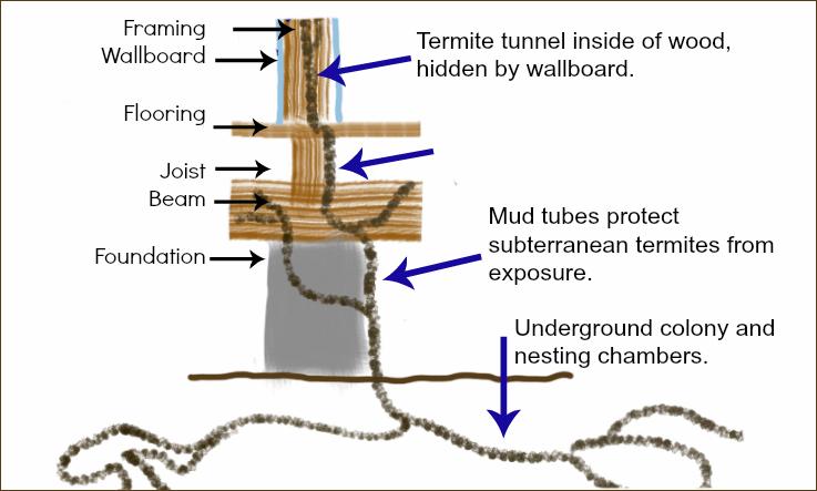 Subterranean Termite Colony Illustration