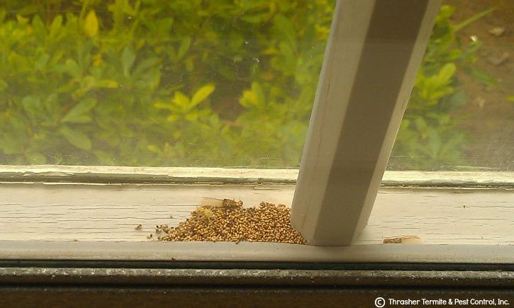 Drywood Termite Pellets between double panes of a window