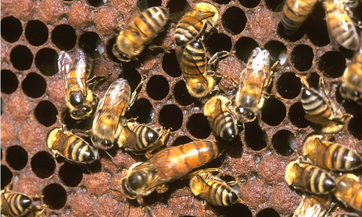 Africanized Honey Bees