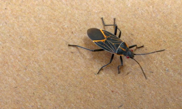 Boxelder Bug Thrasher Termite & Pest Control