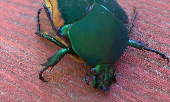 Western Green June Bug