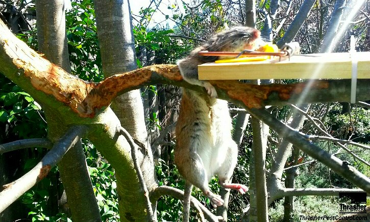 Rat in trap on cherry tree