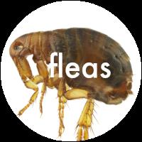 learn about fleas
