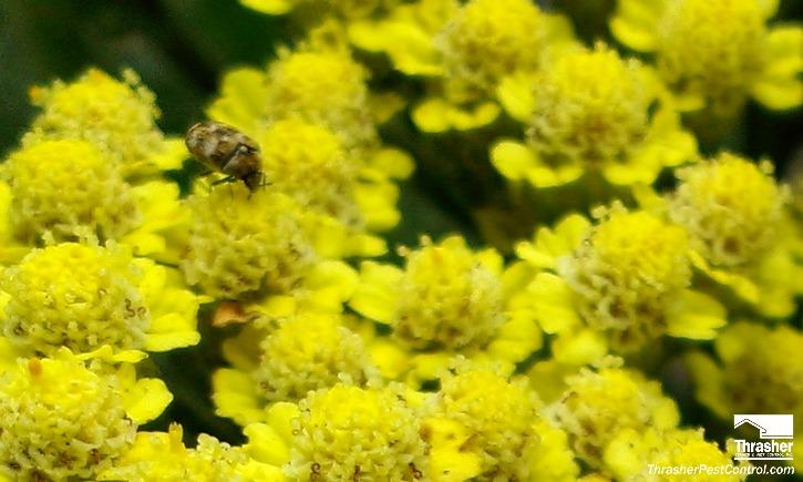Carpet Beetle on Yarrow 2