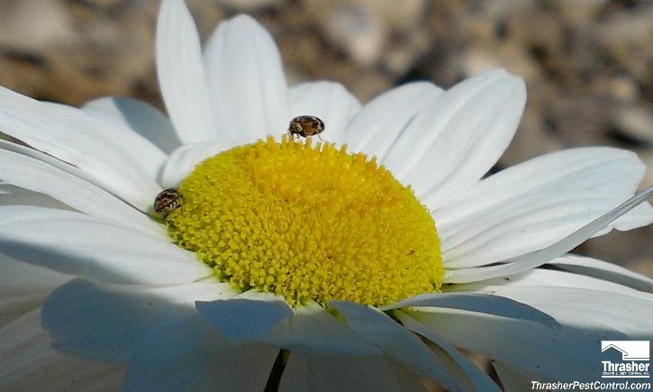Carpet Beetles on Shasta Daisy 3