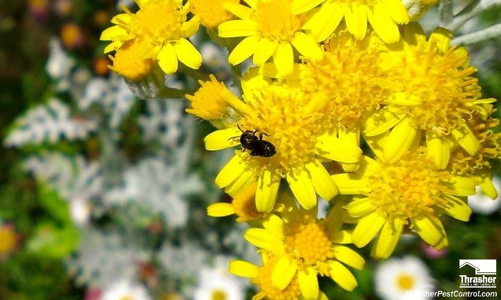 Ceratina small carpenter bee