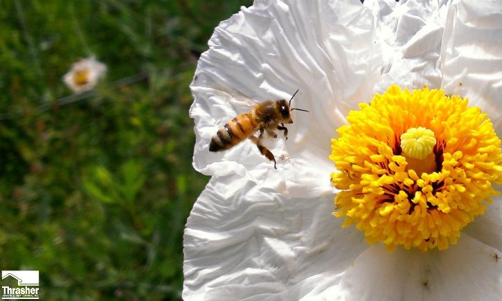 Honey Bee on M. Poppy