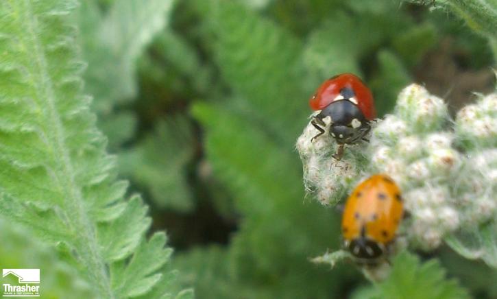 ladybug eating an aphid