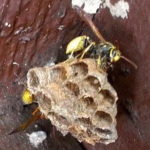 Paperwasp Nest in Eaves