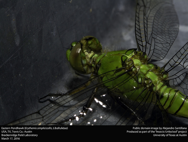 Eastern Pondhawk (Erythemis simplicicollis, Libellulidae)