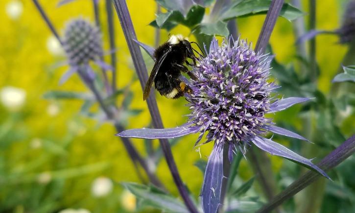 lack faced bumblebee Bombus californicus