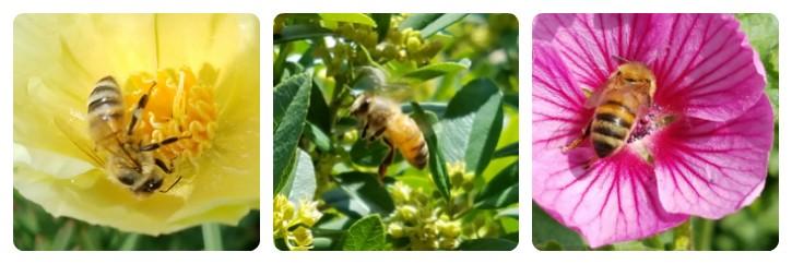 Honey bees gathering necter
