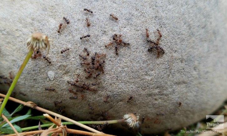 Ant Territory Battle