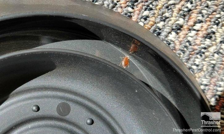 Bed Bug Trapped in Furniture Interceptor