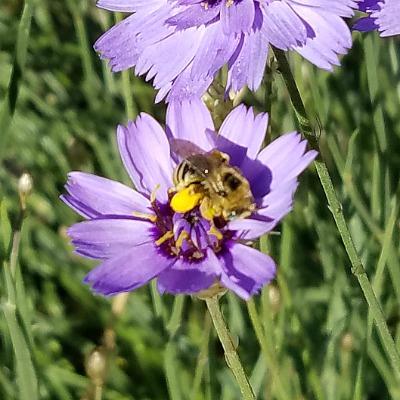 Bee on Cupid's Dart