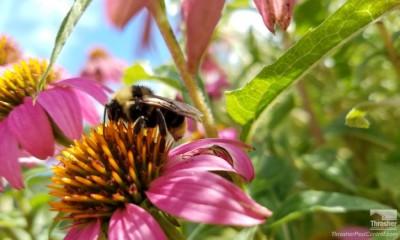 California Bumble Bee on Coneflower