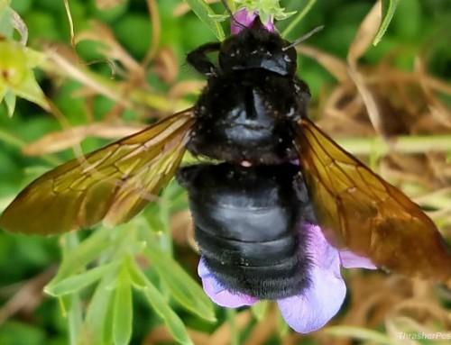 Wild Wednesday: Carpenter Bee