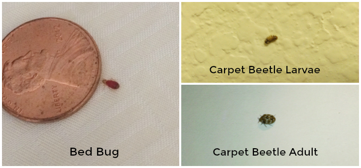 Bed Bugs and Carpet Beetles