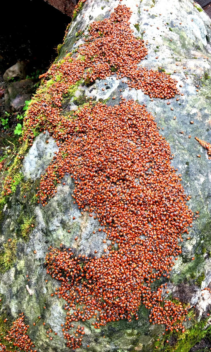Loveliness of Ladybugs on Boulder