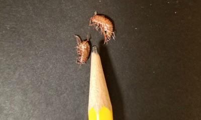 Lawn Shrimp arcitalitrus sylvaticus,