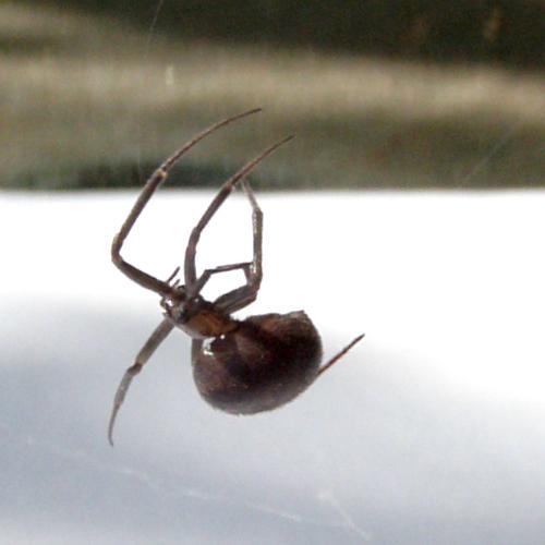 False Black Widow Spider Spinning Web