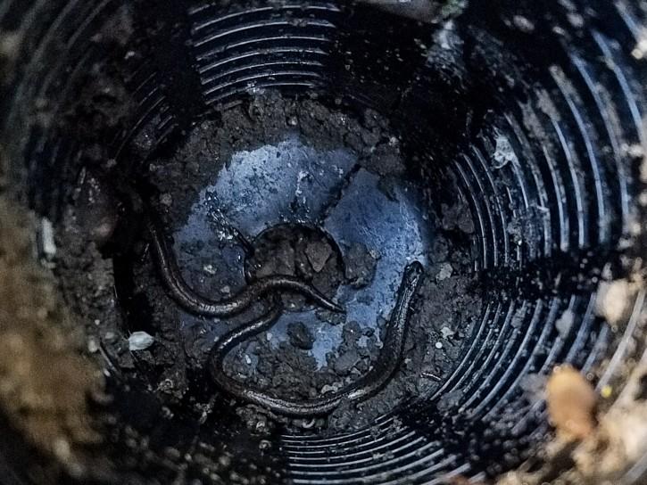 California slender salamanders living in termite bait station