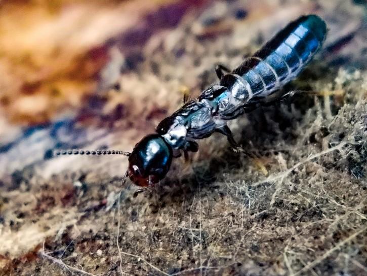 Subterranean Termite Mated Alate